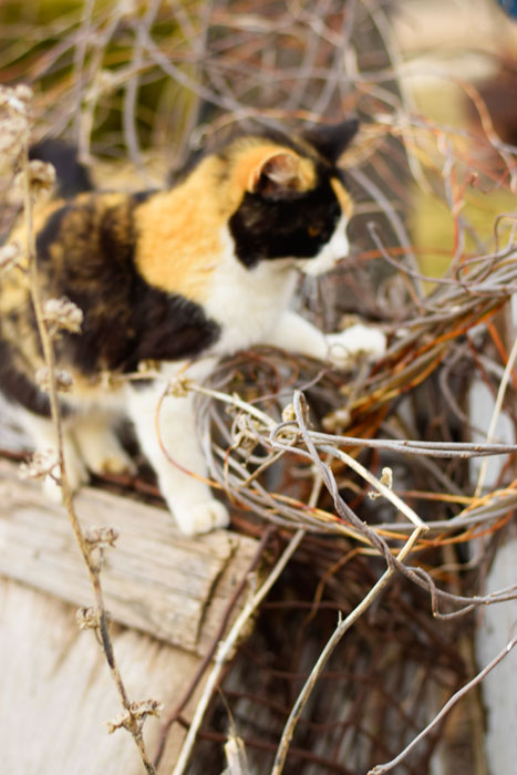 The-Prairie-Chick-kitty-on-grapevine